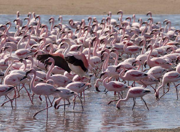vogel namibie rood